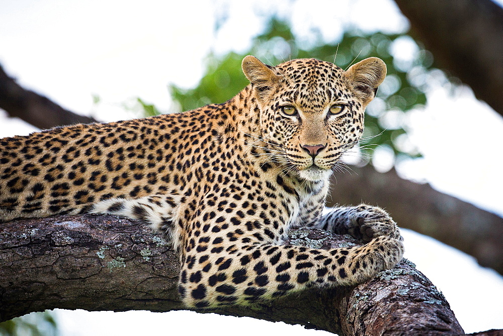 A leopard, Panthera pardus, lies on a tree branch, alert, greenery in the background, Londolozi Game Reserve, Sabi Sands, Greater Kruger National Park, South Africa
