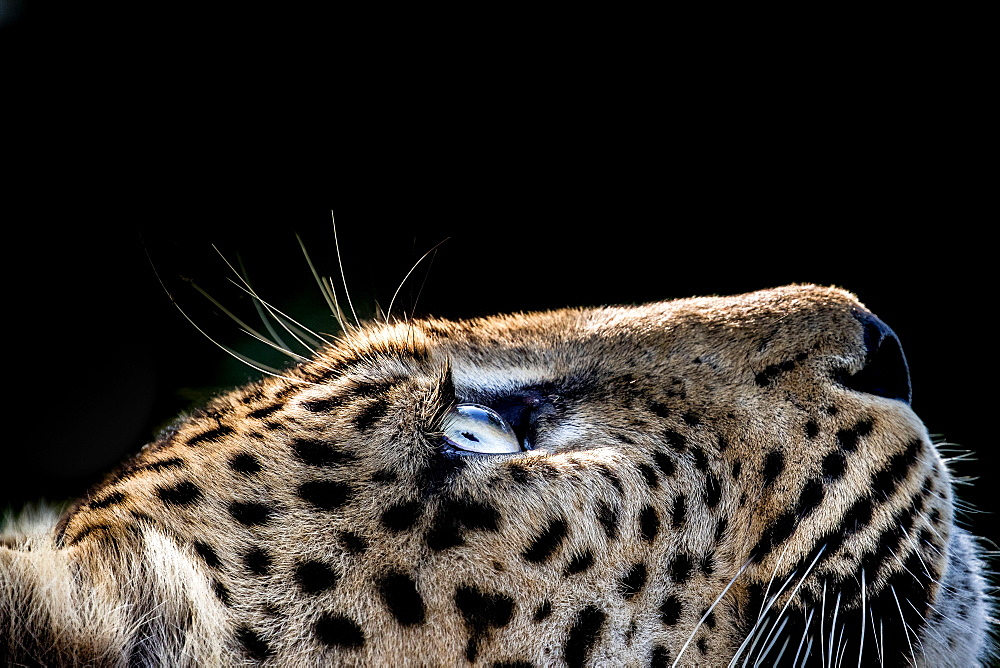 A side-profile of a leopard's head, Panthera pardus, looking up into the light, glow on eyes, coat and whiskers, black background, Londolozi Game Reserve, Sabi Sands, Greater Kruger National Park, South Africa - 1174-5166