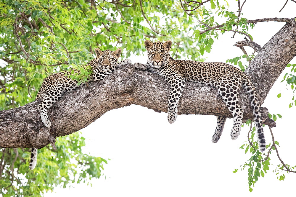 Two leopard cubs, Panthera pardus, lie on a marula tree, Sclerocarya birrea, alert, with their legs draped over the branch, Londolozi Game Reserve, Sabi Sands, Greater Kruger National Park, South Africa