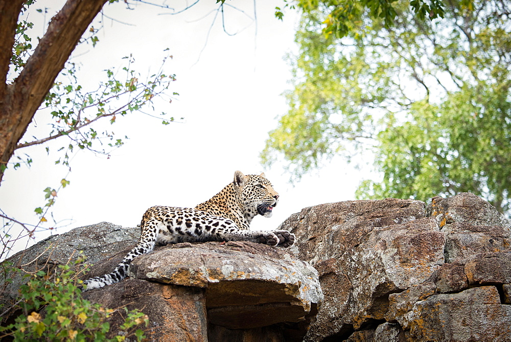 A leopard, Panthera pardus, lies on a boulders, looking away, trees and white sky in the background, Londolozi Game Reserve, Sabi Sands, Greater Kruger National Park, South Africa
