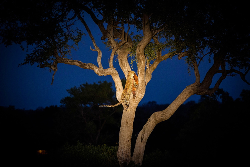 A leopard, Panthera pardus, climbing a tree while holding an impala in its mouth at night, Aepyceros melampus, Londolozi Game Reserve, Sabi Sands, Greater Kruger National Park, South Africa - 1174-5171