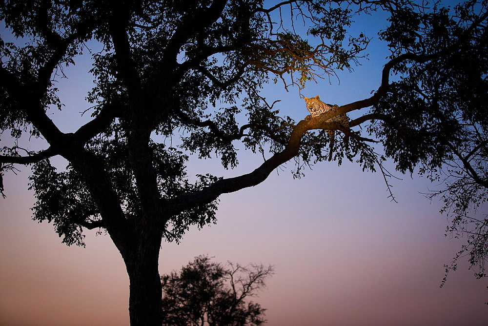 A leopard, Panthera pardus, lies on two tree branches at dusk, in a tree in silhouetted, Londolozi Game Reserve, Sabi Sands, Greater Kruger National Park, South Africa