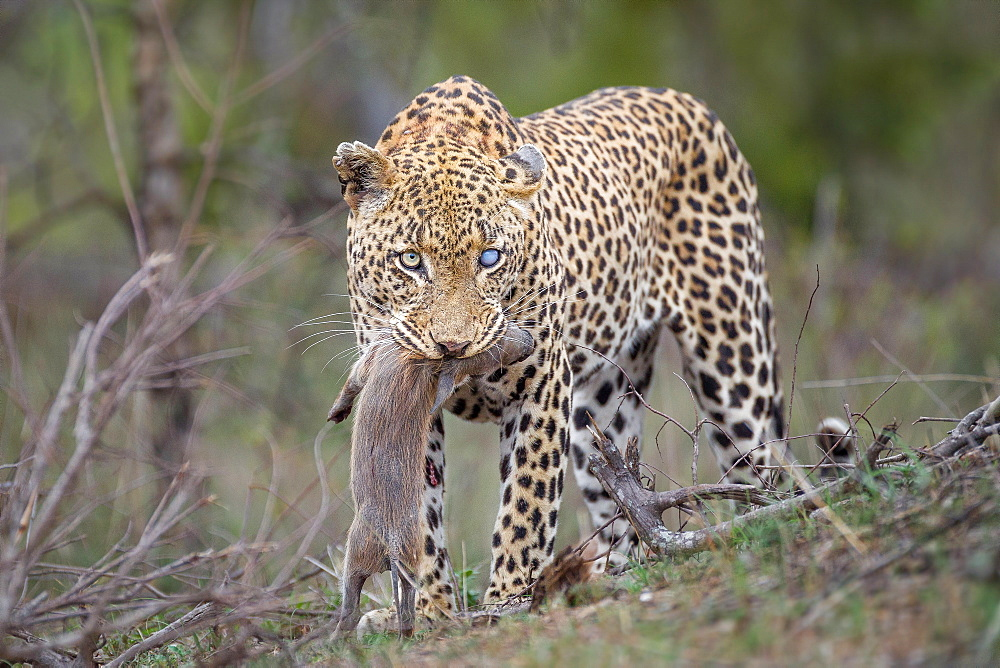 A leopard, Panthera pardus, with one blue-clouded eye, looking away, stands with a warthog piglet in its mouth, Phacochoerus africanus, Londolozi Game Reserve, Sabi Sands, Greater Kruger National Park, South Africa - 1174-5174