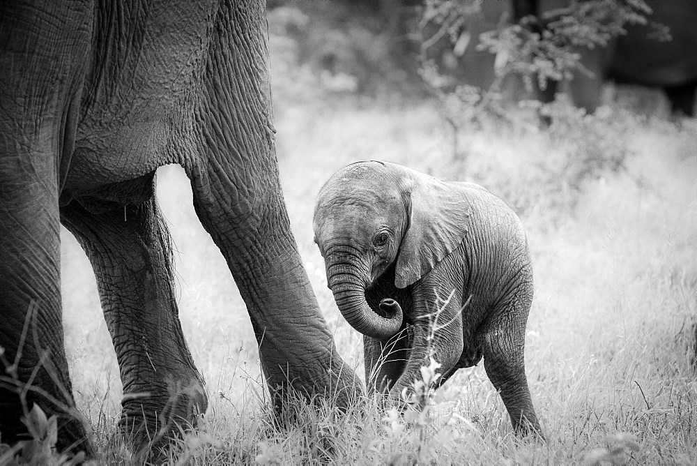 An elephant calf, Loxodonta africana, stands behind its mother's legs, curls its trunk in, in black and white, Londolozi Game Reserve, Sabi Sands, Greater Kruger National Park, South Africa