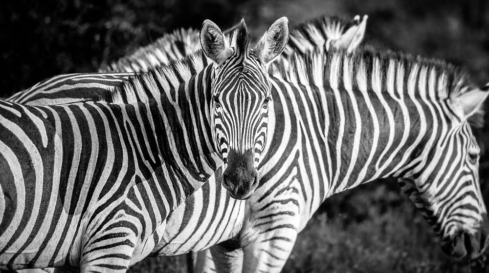 A zebra, Equus quagga, alert, zebra in background, ears forward, in black and white, Londolozi Game Reserve, Sabi Sands, Greater Kruger National Park, South Africa - 1174-5183