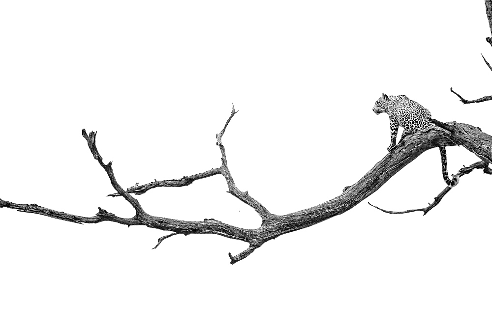A leopard, Panthera pardus, sits on a dead tree branch, tail hangs down, looking away, in black and white, Londolozi Game Reserve, Sabi Sands, Greater Kruger National Park, South Africa - 1174-5185