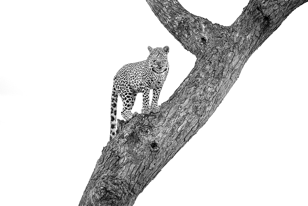 A leopard, Panthera pardus, stands in a tree, looking away, in black and white, Londolozi Game Reserve, Sabi Sands, Greater Kruger National Park, South Africa - 1174-5187