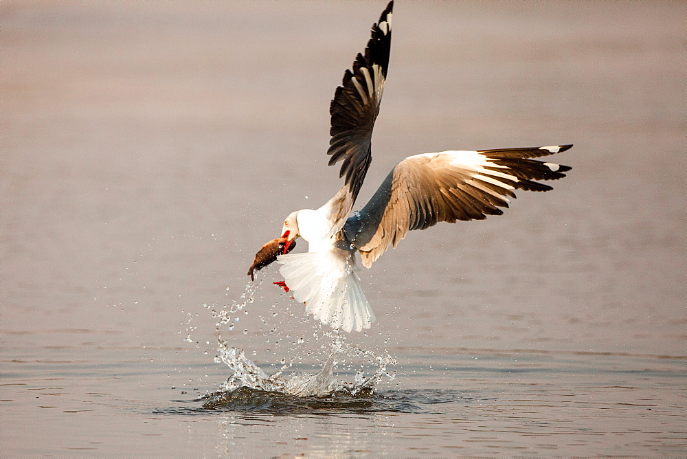 A grey-headed gull, Chroicocephalus cirrocephalus, in mid flight, catches fish, with fish between beak, above water with splashes, Londolozi Game Reserve, Sabi Sands, Greater Kruger National Park, South Africa - 1174-5190