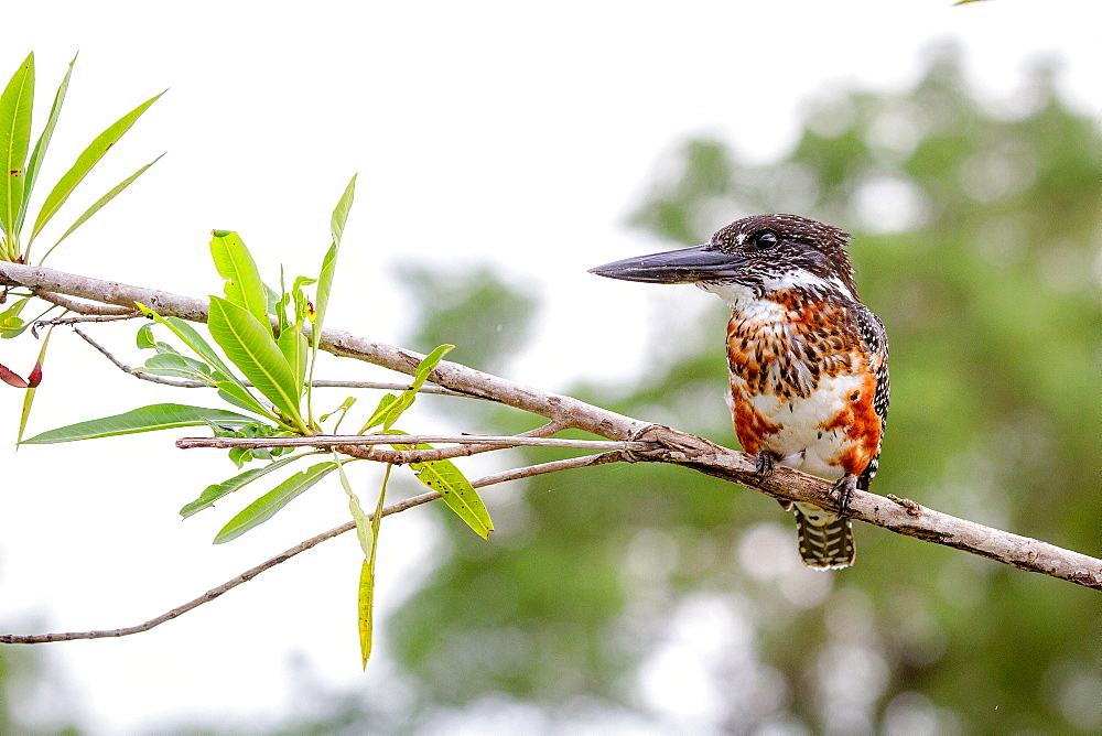 A giant kingfisher, Megaceryle maxima, stands on a branch, looking away, Londolozi Game Reserve, Sabi Sands, Greater Kruger National Park, South Africa