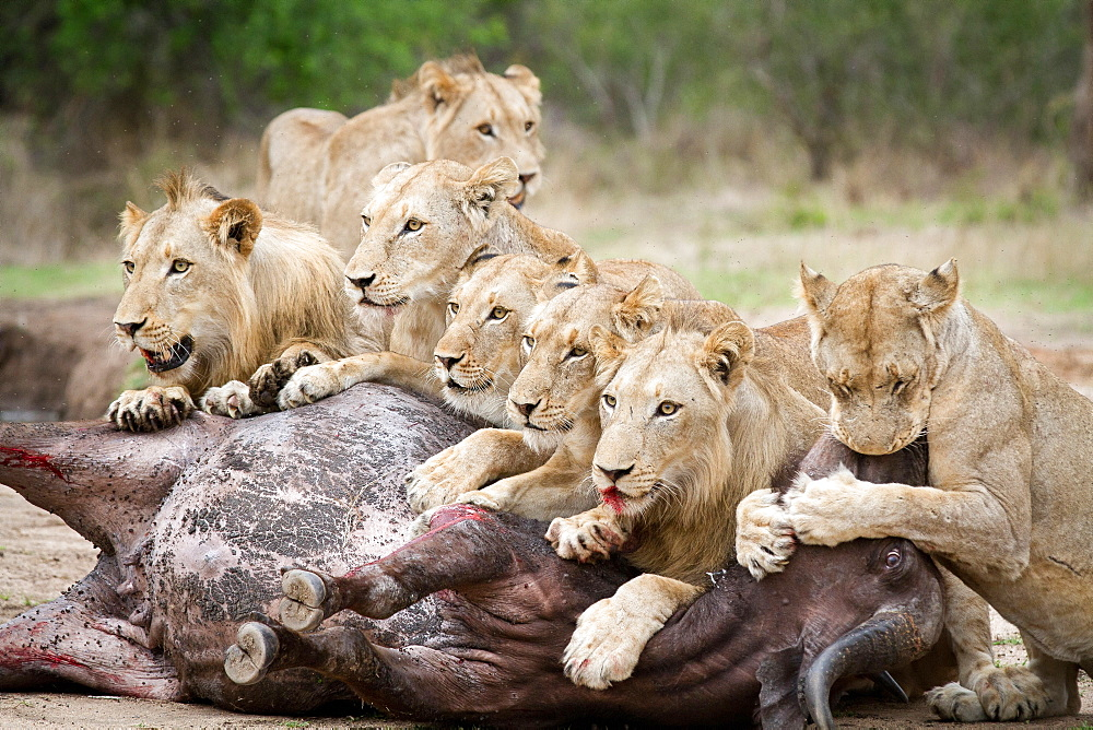 A pride of lions, Panthera leo, lie over a buffalo carcass, Syncerus caffer, looking away, biting muzzle of bloated buffalo, blood on mouth, Londolozi Game Reserve, Sabi Sands, Greater Kruger National Park, South Africa - 1174-5200