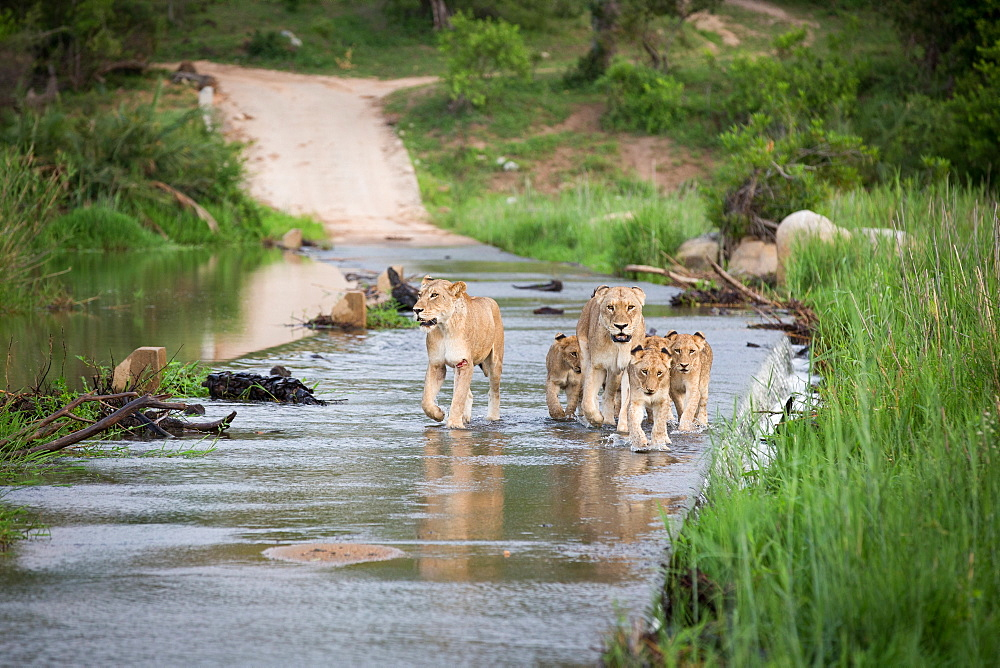 A pride of lions, Panthera leo, walk through the shallow water of a river, walking towards camera, looking away, Londolozi Game Reserve, Sabi Sands, Greater Kruger National Park, South Africa