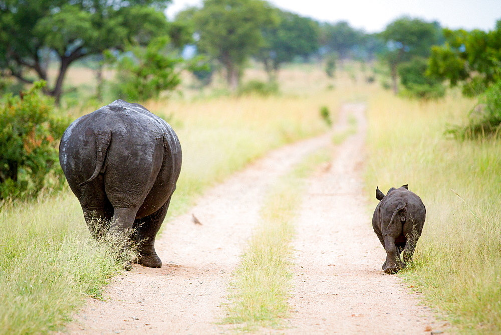 A rhino mother and calf, Ceratotherium simum, walk down a road track with their backs to the camera, Londolozi Game Reserve, Sabi Sands, Greater Kruger National Park, South Africa