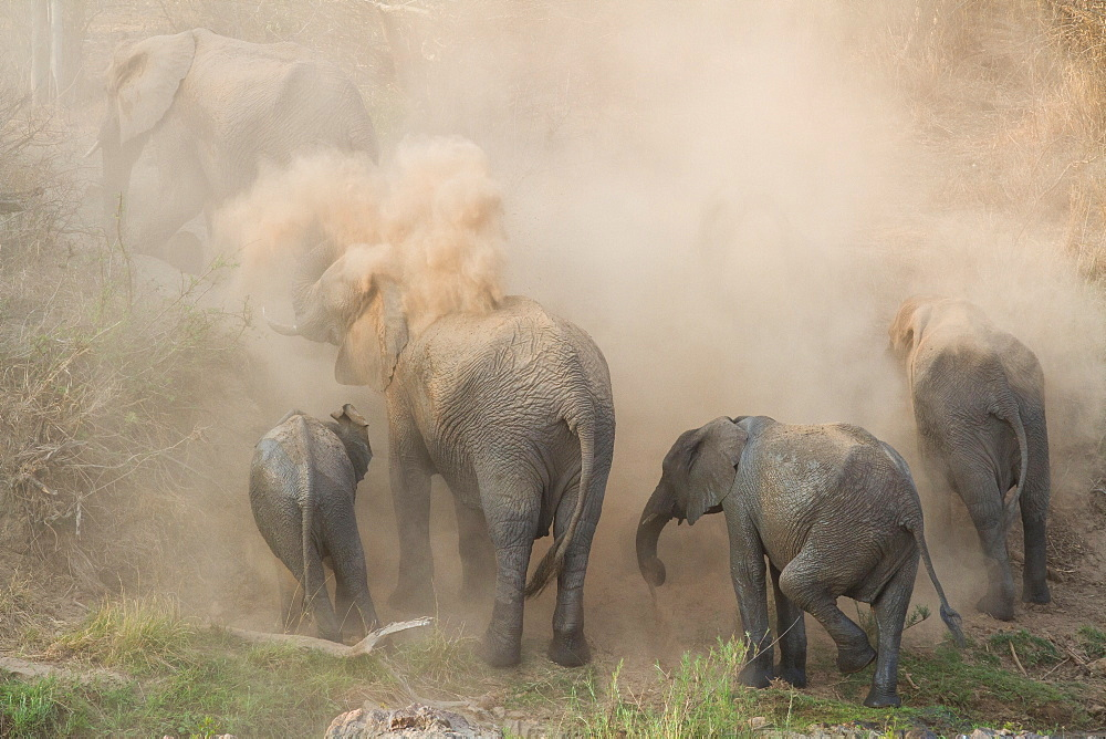 An elephant herd, Loxodonta africana, have a dust bath, sand on their backs, trunks in the air, dusty air, Londolozi Game Reserve, Sabi Sands, Greater Kruger National Park, South Africa