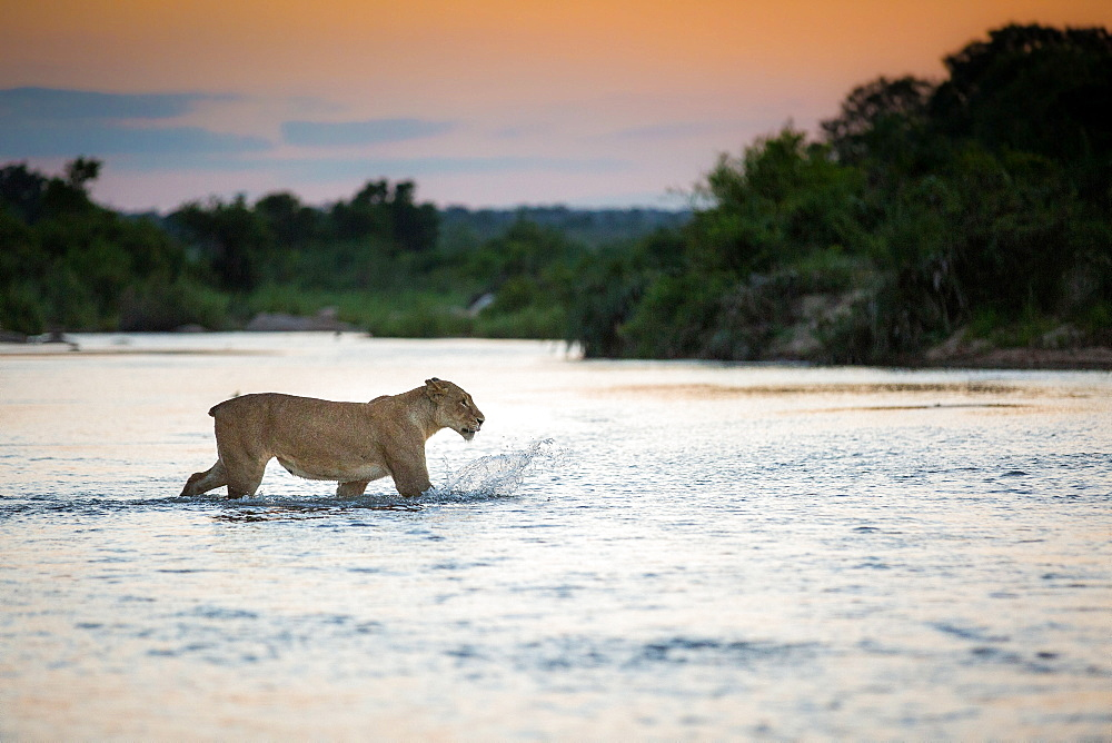 A lioness, Panthera leo, with no tail walks across a river, ears back, looking away, splashing, sunset in the background, Londolozi Game Reserve, Sabi Sands, Greater Kruger National Park, South Africa