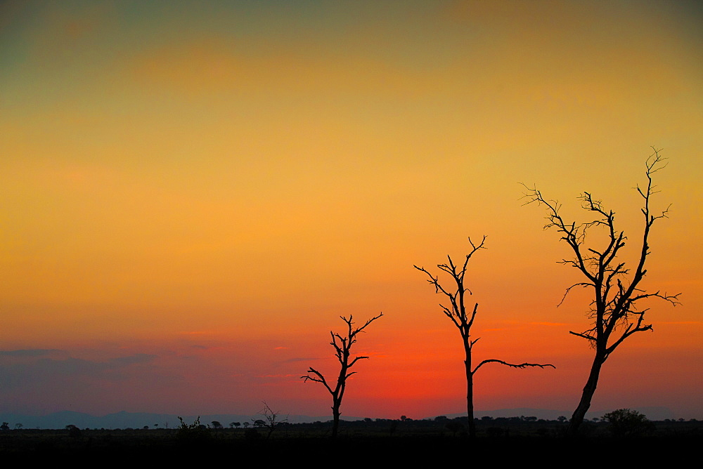A silhouette of three bare trees against a sunset over the horizon, Londolozi Game Reserve, Sabi Sands, Greater Kruger National Park, South Africa