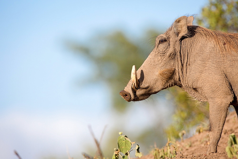 A side profile of a warthog, Phacochoerus africanus, standing on soil, white tusks, against blue sky, Londolozi Game Reserve, Sabi Sands, Greater Kruger National Park, South Africa