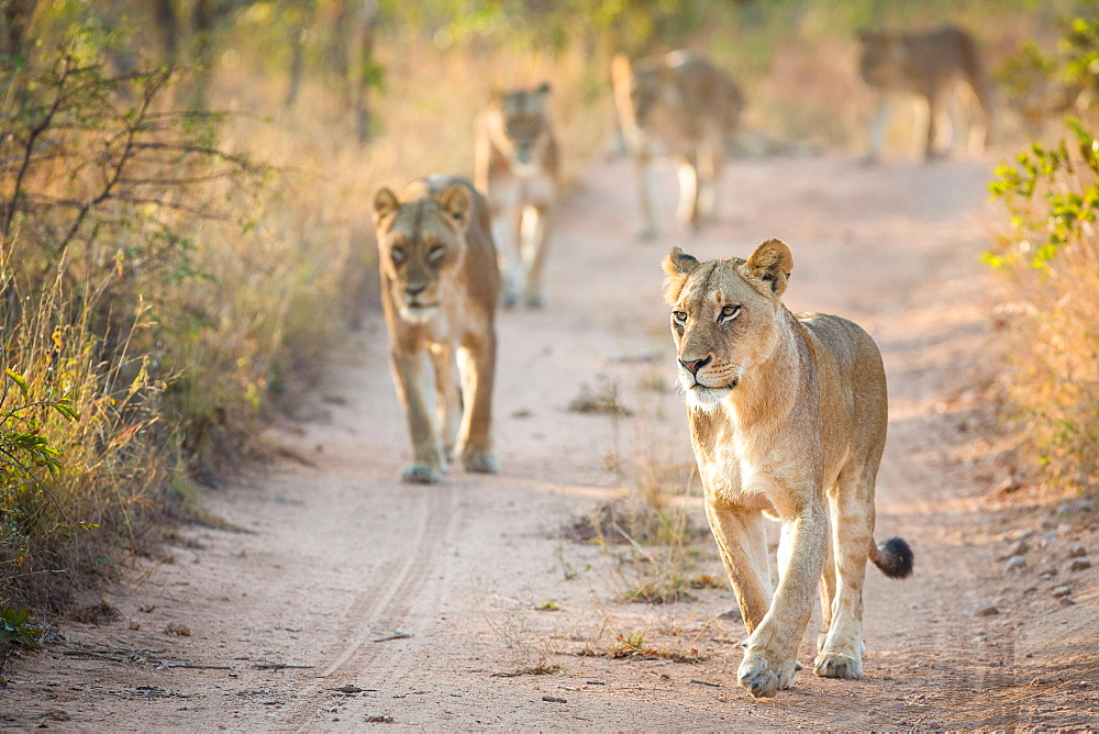A pride of lions, Panthera leo, walk towards the camera on a sand road, Londolozi Game Reserve, Sabi Sands, Greater Kruger National Park, South Africa