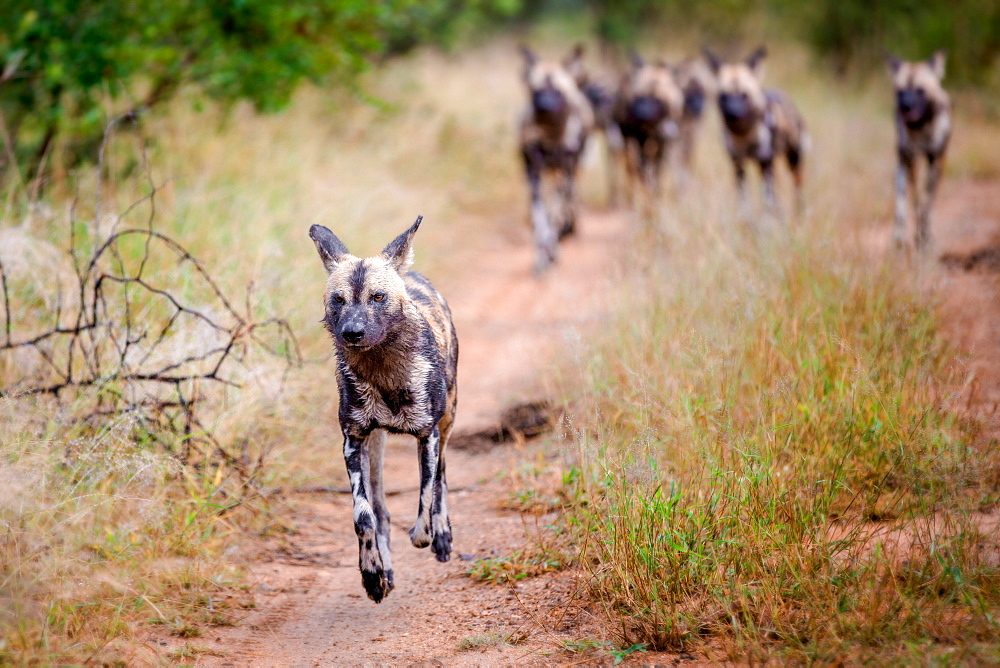 A pack of wild dog, Lycaon pictus, running, ears back, feet off the ground, Londolozi Game Reserve, Sabi Sands, Greater Kruger National Park, South Africa