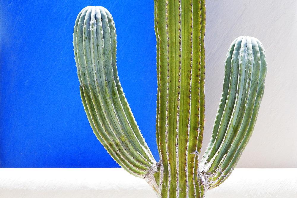 Cactus, San Jose los Cabos, Baja California, Mexico