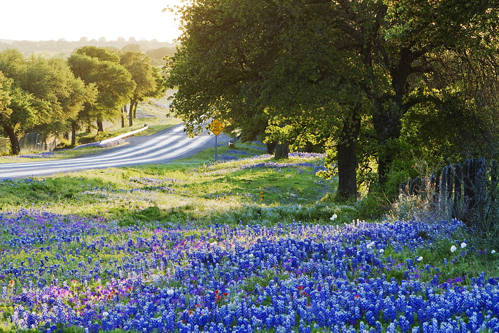 Blue Bonnets in Field Near Road, Texas, USA