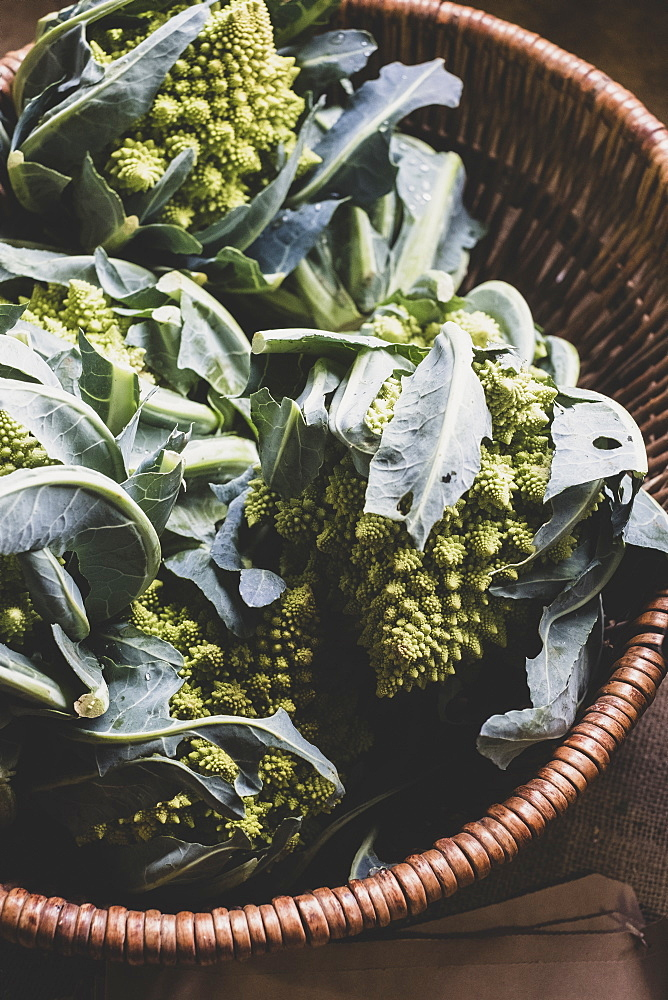 High angle close up of freshly harvested green Romanesco cauliflowers in wicker basket, Oxfordshire, England