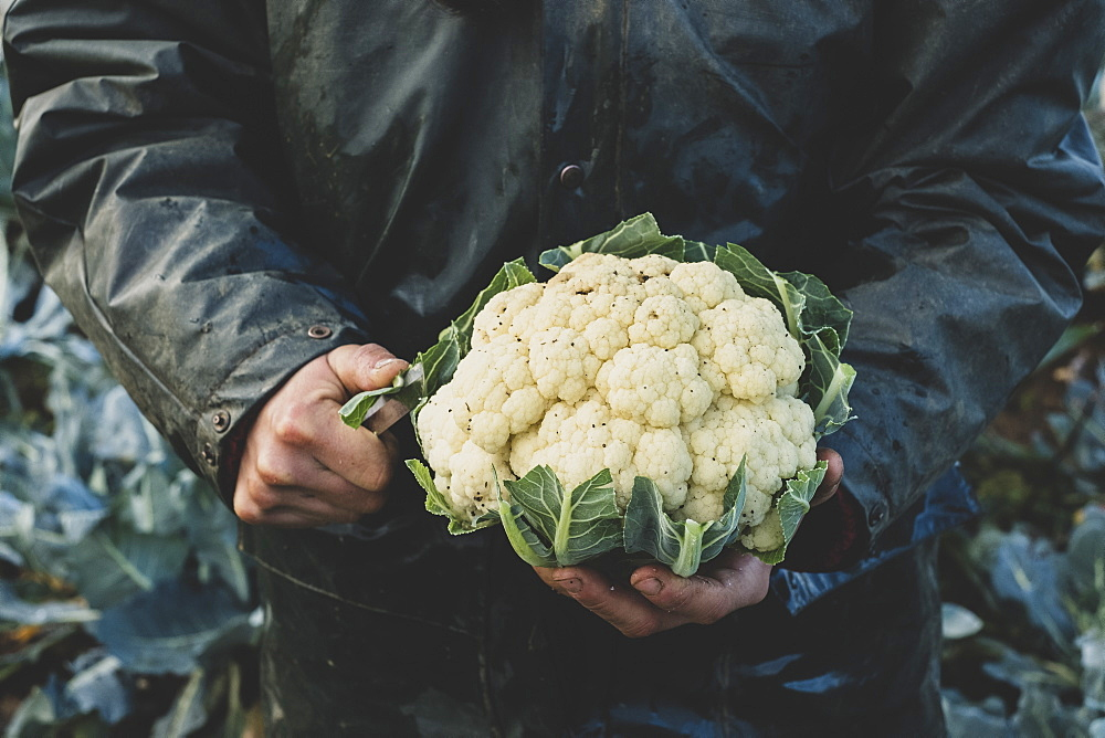 High angle close up of person holding freshly harvested cauliflower, Oxfordshire, England