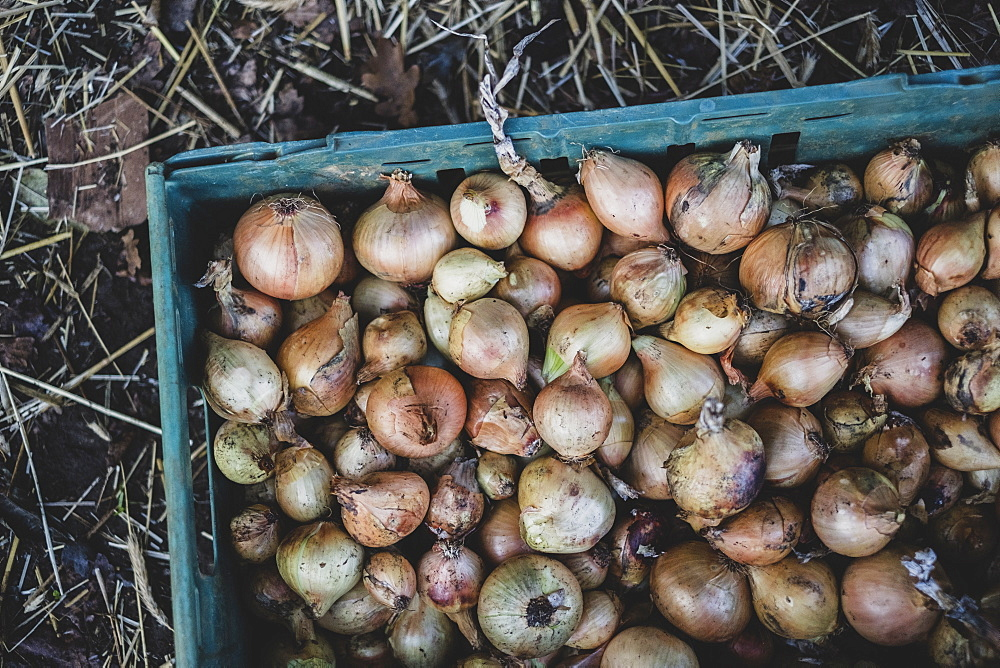 High angle close up of freshly harvested onions in green plastic crate, Oxfordshire, England