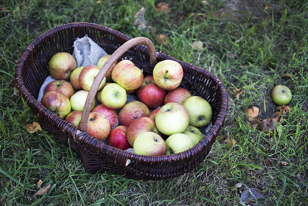 High angle close up of freshly picked apples in a brown wicker basket, Oxfordshire, England