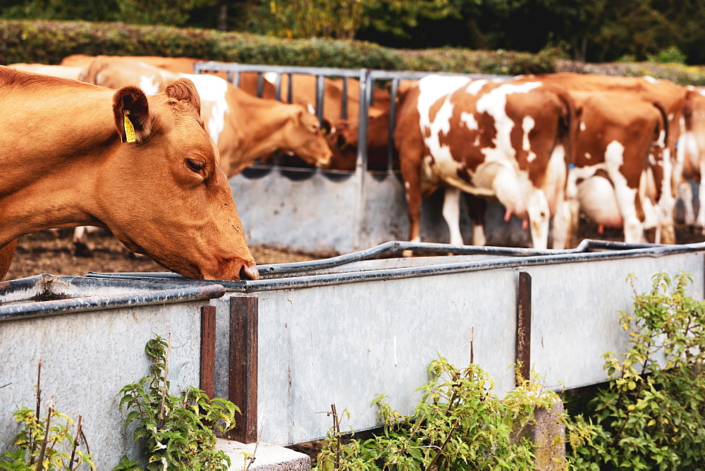 Herd of piebald red and white Guernsey cows on a pasture, eating from metal trough, Oxfordshire, England