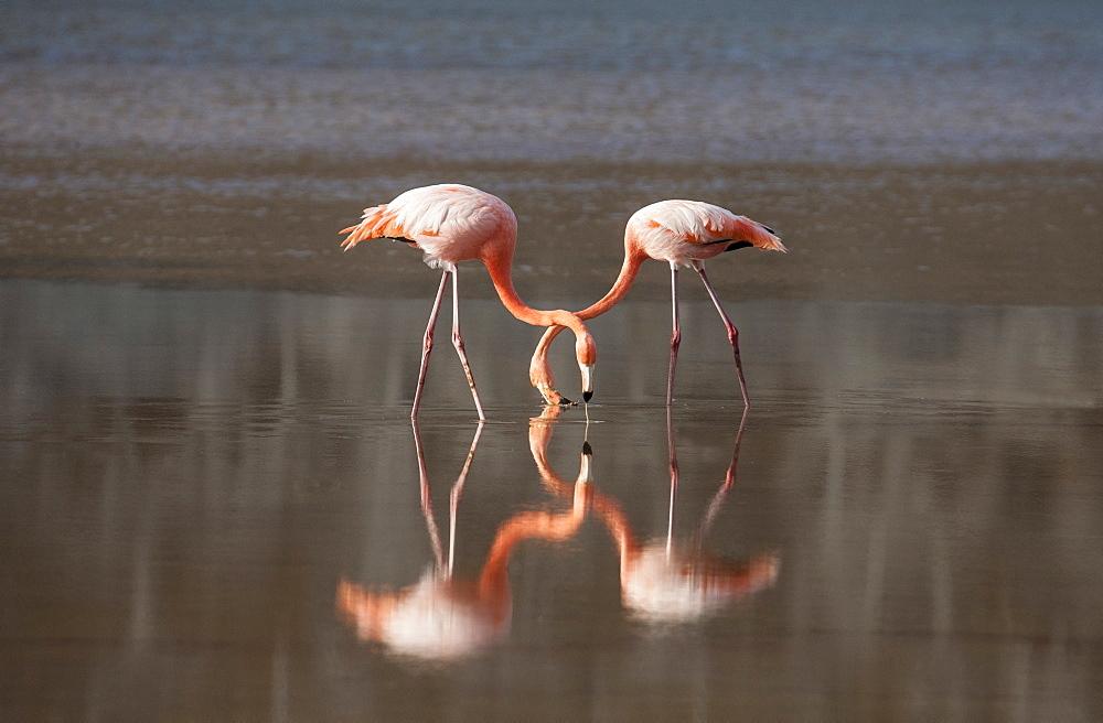 Flamingoes reflecting in still lake