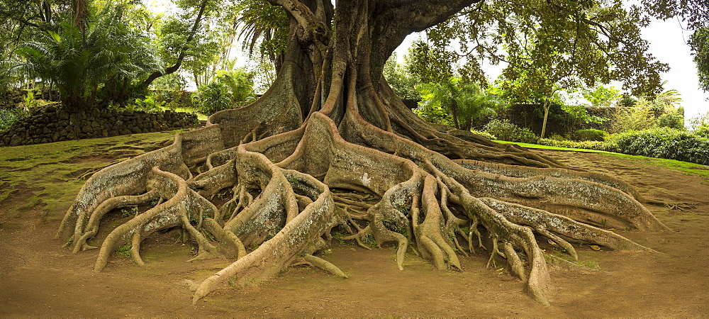Elevated tree roots in park, Porta Delgada - Antoinio Borges Park, Sao Miguel, Portugal