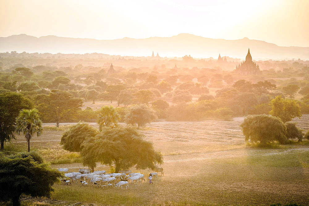 Sheep grazing in misty landscape, Bagan, Myanmar