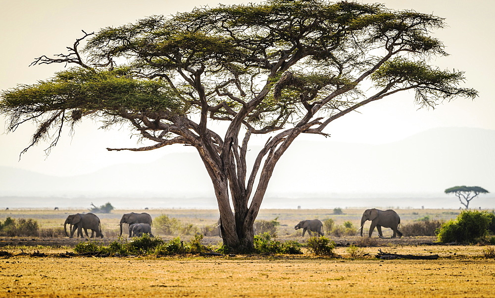 Elephants under trees in savanna landscape, Kenya, Africa