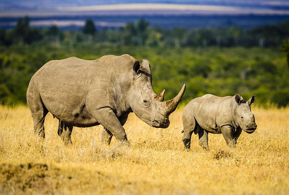 Rhinoceros and calf walking in savanna landscape, Kenya, Africa