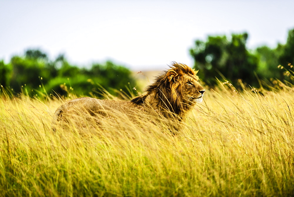 Lion standing in tall grass, Kenya, Africa