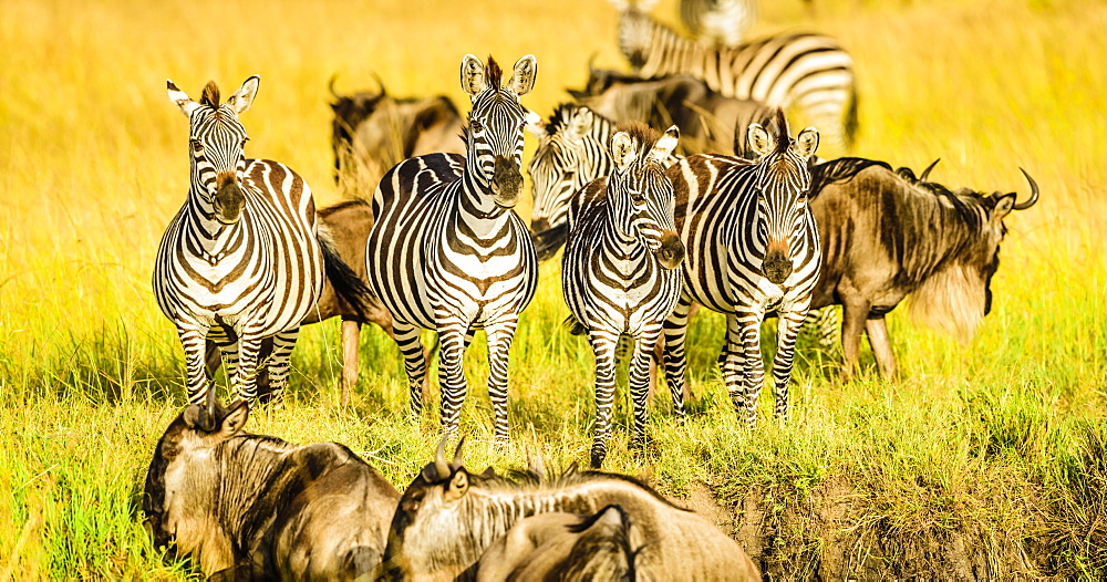 Zebras and wildebeest standing in grass, Kenya, Africa