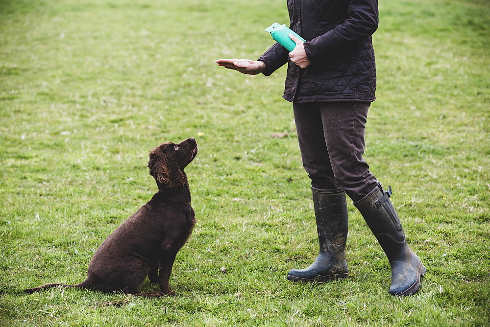 Person standing outdoors, giving hand command to Brown Spaniel dog, Oxfordshire, England