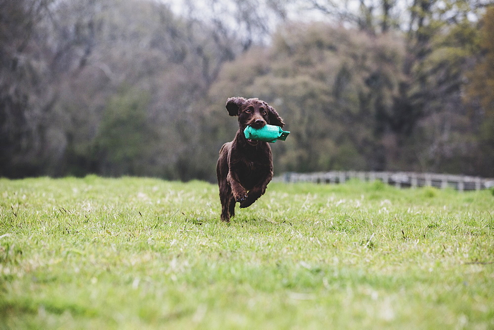 Brown Spaniel dog running across a field, retrieving green toy, Oxfordshire, England