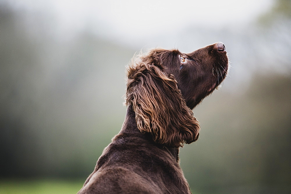 Rear view of Brown Spaniel dog sitting in a field, looking sideways, Oxfordshire, England - 1174-6544