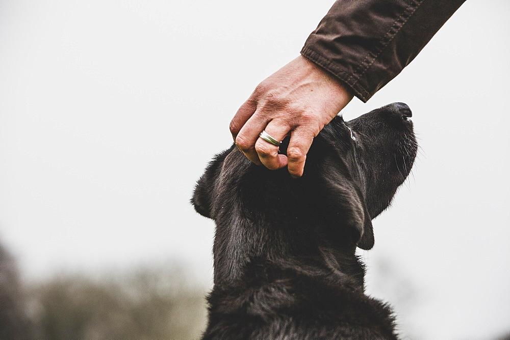 Close up of person stroking Black Labrador dog's head, Oxfordshire, England
