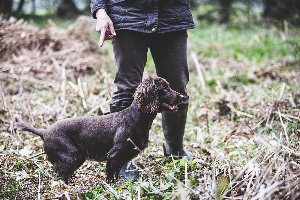 Person standing outdoors, pointing at Brown Spaniel dog, Oxfordshire, England