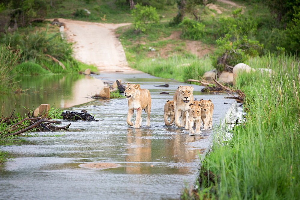 A pride of lions and cubs, Panthera leo, cross the causeway of a river, looking out of frame, flanked by greenery