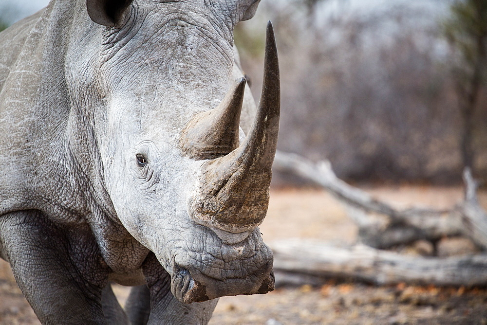 A white rhino bull, Ceratotherium simum, stands in a clearing, direct gaze, Londolozi Game Reserve, Sabi Sands, Greater Kruger National Park, South Africa