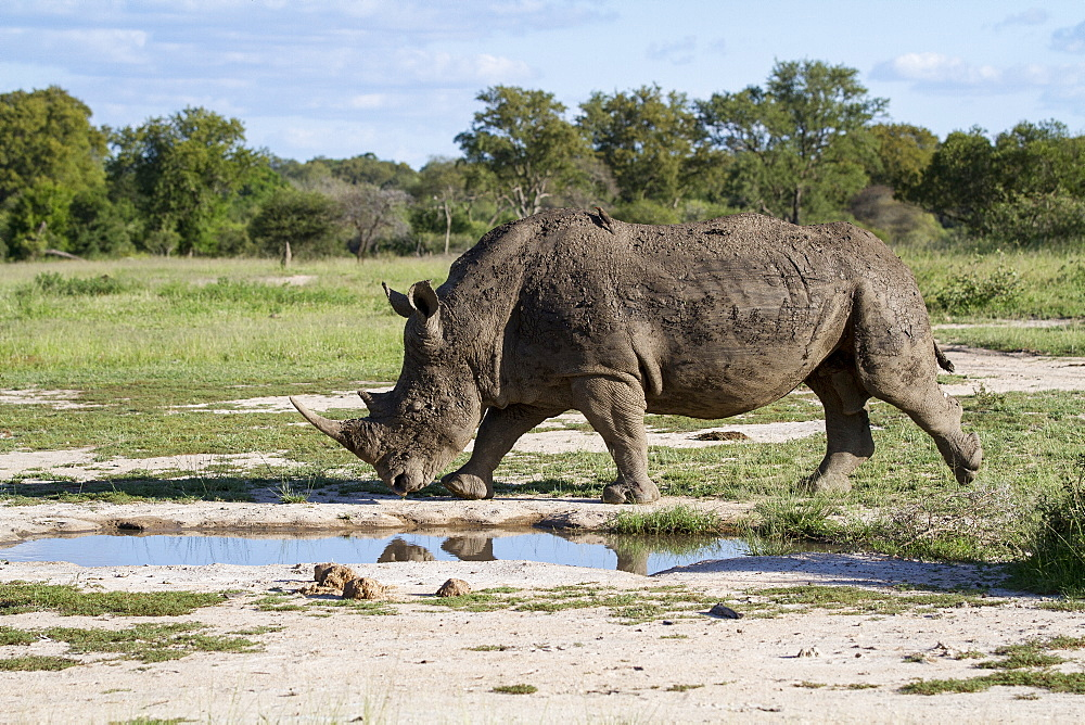 A white rhino, Ceratotherium simum, walks passed a waterhol, Londolozi Game Reserve, Sabi Sands, Greater Kruger National Park, South Africa