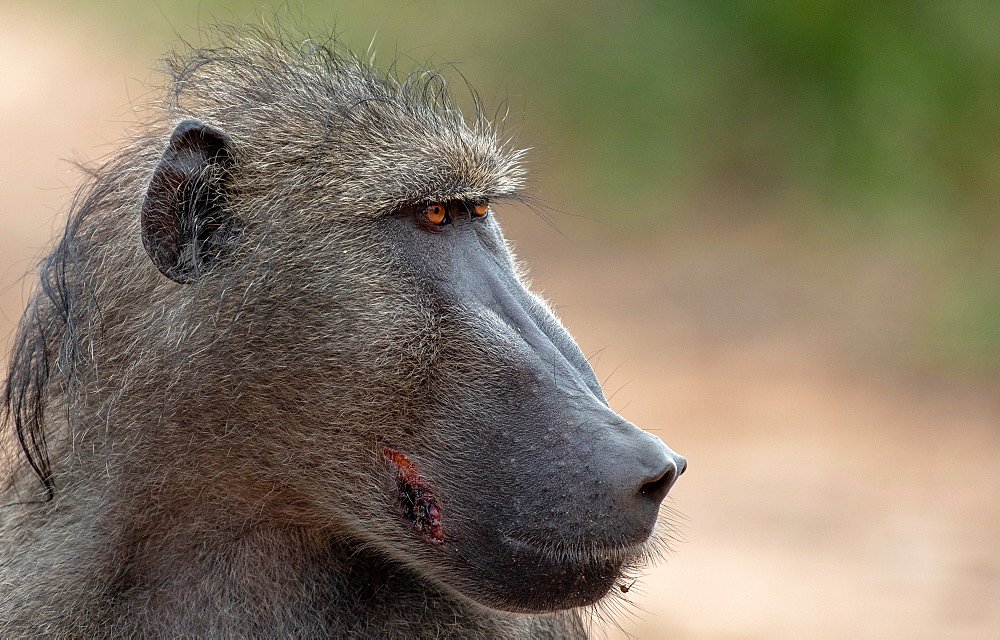 The side profile of the head of a baboon, Papio ursinus, looking out of frame, Londolozi Game Reserve, Sabi Sands, Greater Kruger National Park, South Africa