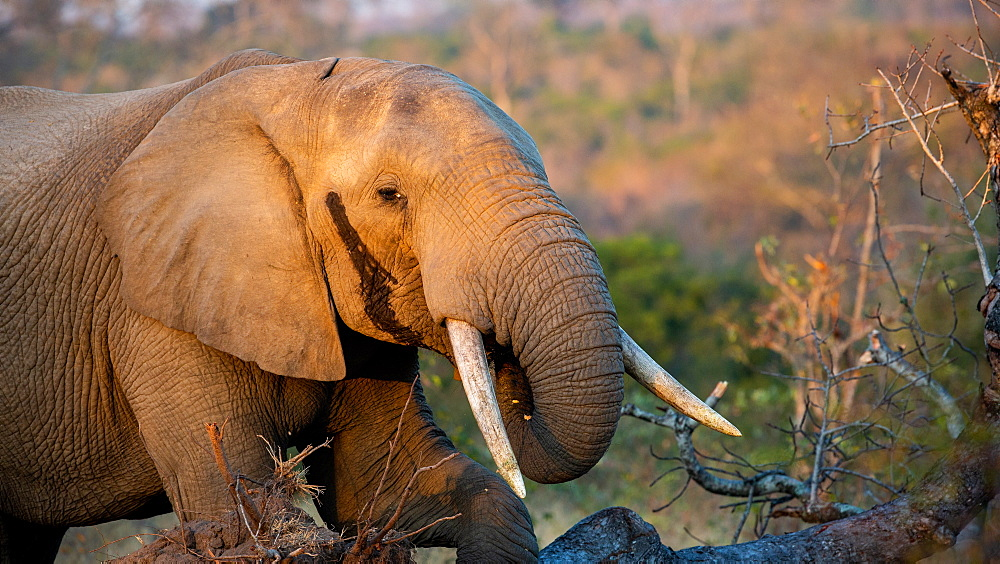 An elephant, Loxodonta africana, brings its trunk to its mouth as it eats, with temporal gland secretion, Londolozi Game Reserve, Sabi Sands, Greater Kruger National Park, South Africa