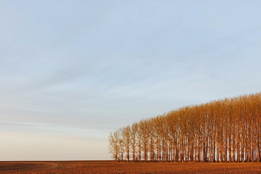 Stand of commercially grown poplar trees, Whitman County, Washington, USA