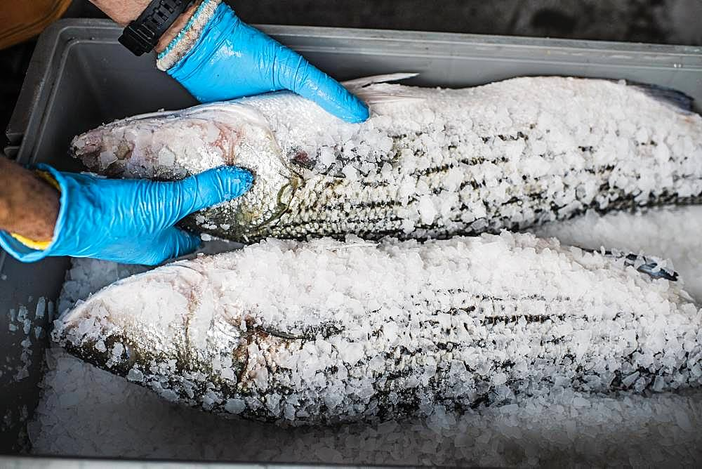 Two fresh fish on a fish market stall covered in ice and salt