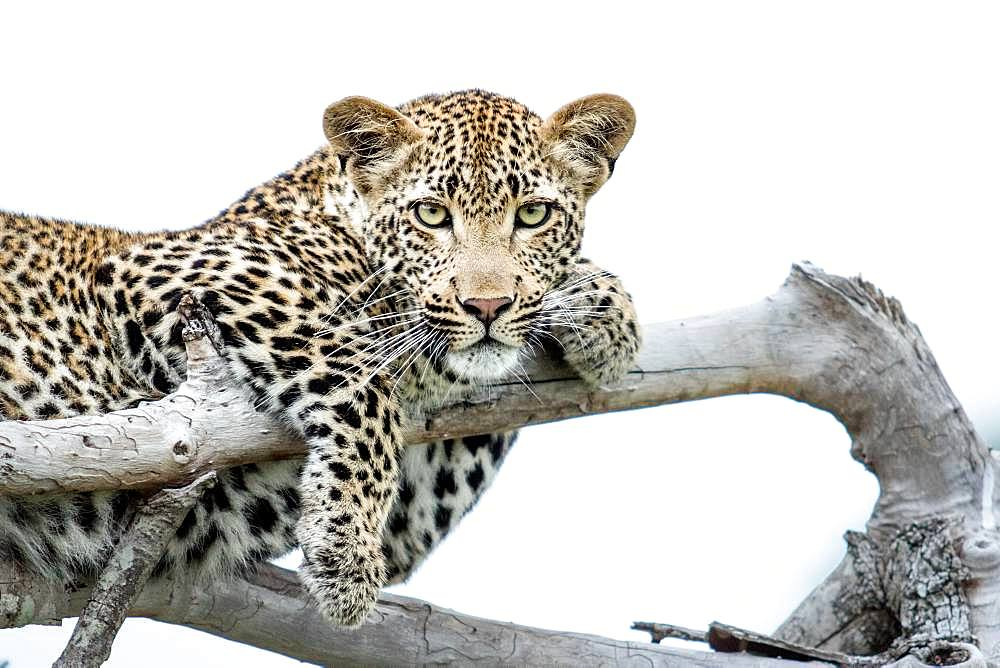 A leopard, Panthera pardus, lies on dead branches, paws draped over branches, direct gaze, white background, Londolozi Game Reserve, Kruger National Park, Sabi Sands, South Africa