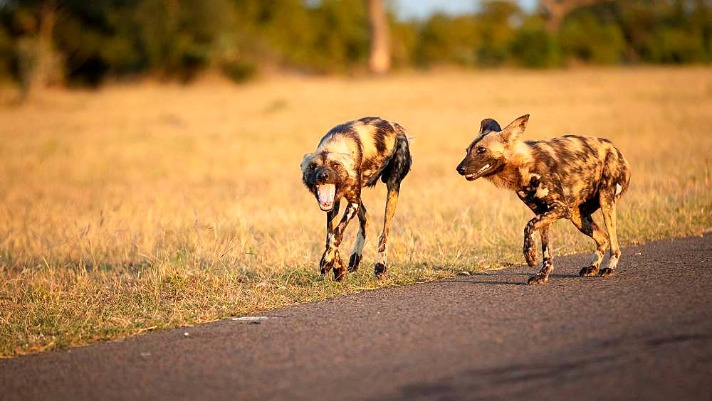 Two wild dog, Lycaon pictus, walk together, looking out of frame, mouth open, dry yellow grass background, Londolozi Game Reserve, Kruger National Park, Sabi Sands, South Africa
